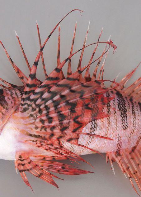 胸鰭軟条の皮膜は先端にまで達する。