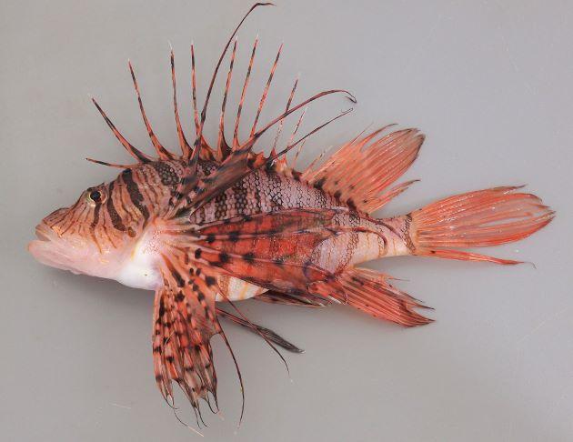 体長25cm前後になる。胸鰭、背鰭、尻鰭などが非常に大きい。胸鰭はすべて分枝しない。胸鰭軟条の皮膜は先端にまで達する。第二背鰭、尾鰭、尻鰭の全体に斑紋はなく、頭部腹面に模様がない。