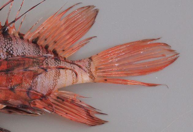 第二背鰭、尾鰭、尻鰭の全体に斑紋はなく、一部のみにある。
