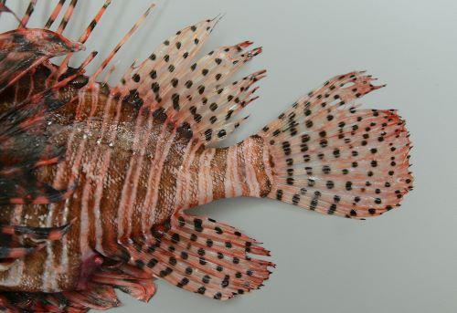 第二背鰭、尾鰭、尻鰭などに褐色のゴマ状の斑紋がある。