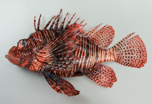 体長33cmを超える。胸鰭、背鰭、尻鰭などが非常に大きい。胸鰭はすべて分枝しない。胸鰭軟条の皮膜は先端にまで達する。第二背鰭、尾鰭、尻鰭などに褐色のゴマ状の斑紋があり、頭部腹面にも不定形の模様がある。