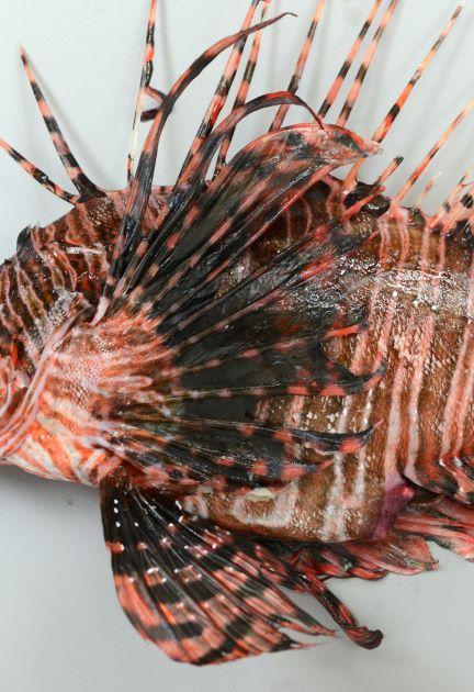 胸鰭の皮膜は軟条の先端付近まである。胸鰭に棘はない。