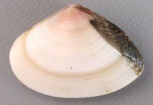 オキアサリのサムネイル写真