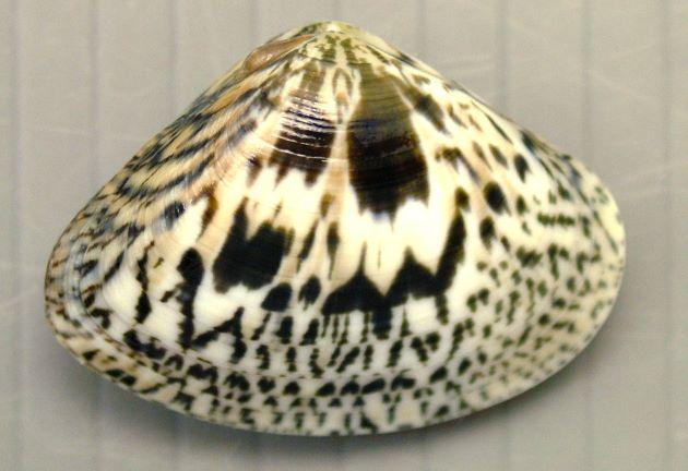 オキアサリの形態写真