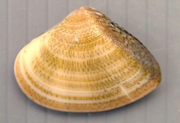 SL(殻長)60mm前後になる。三角形に近い形。コタマガイに似るがややふくらみがある。殻前端は丸く、後端は尖る。色彩の変化が大きいが、コタマガイとは違う規則性を持つ。殻頂部後部(靱帯がある方)に弱い放射肋がある。