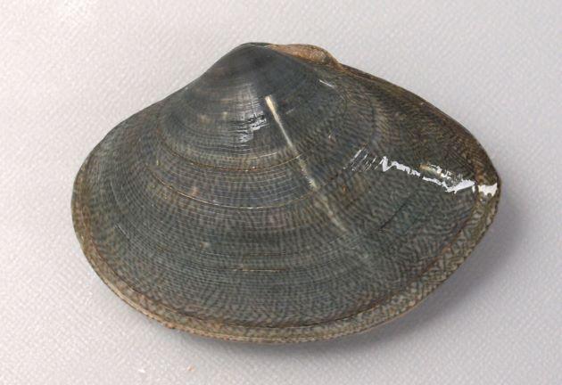 SL(殻長)72mm前後になる。貝殻は厚みがあってふくらみは弱い。腹縁は丸みがある。扇形で斑紋が非常に多彩。