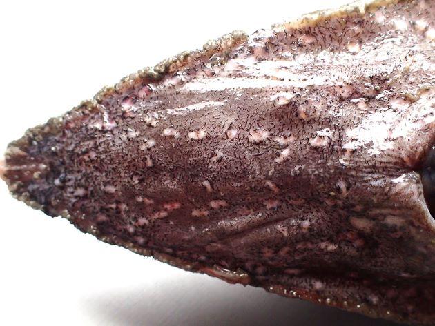 頭部の下面には黒い皮弁やイボ状の丸いふくらみがある。