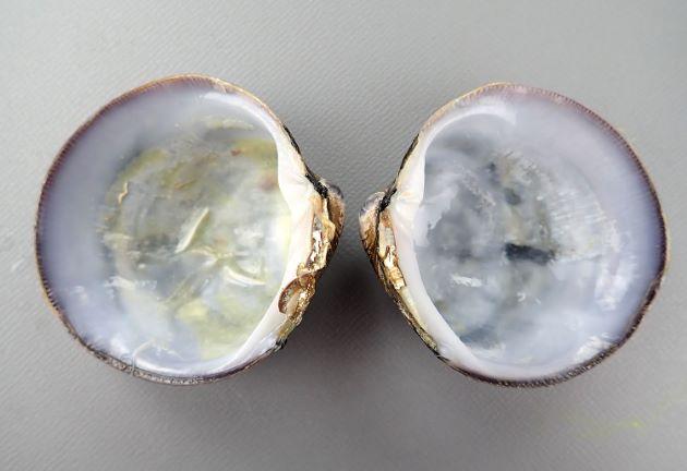 SL 45mm前後になる。ゆがんだような円形。殻は薄いが硬く、膨らみが強い、殻皮は黒く貝殻は黄色みかがる。