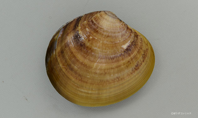 ワスレガイの形態写真
