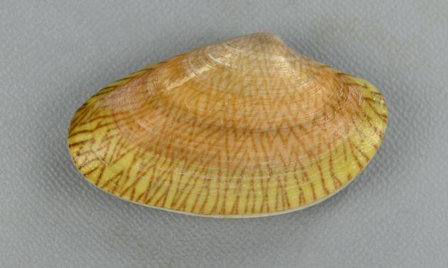 45mm SL 前後になる。長楕円形で貝殻は薄くやや硬い。殻頂の前に小月面があり、殻頂後方の楯面はあまり明瞭ではない。紫がかった茶色、もしくは薄茶色の地に濃い線形の網目模様がある。[台湾高雄]