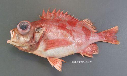 カタボシアカメバルの生物写真