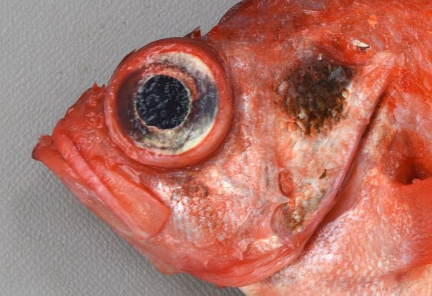 下顎先端の突起は目立たない。受け口ではない。鰓蓋に黒い斑紋がある。