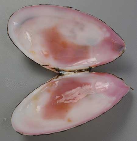 ベニザラガイの貝殻内側