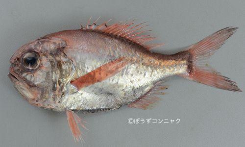 ヒウチダイの生物写真