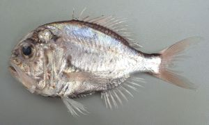 マルヒウチダイのサムネイル写真