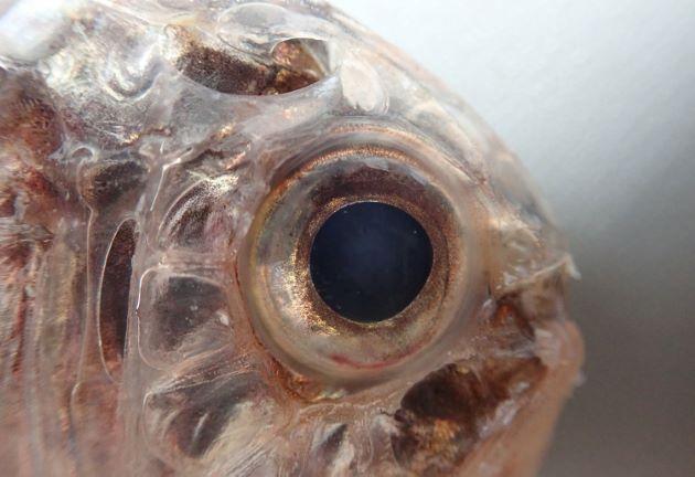 目が前方にあり、頭部は透明感のある骨格に覆われ、目から放射線状に畝状の線が走る。