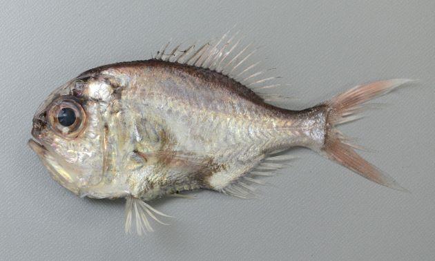体調25cm前後になる。側面から見ると丸く、強く側扁(左右に平たい)する。腹部に稜鱗(硬く刺々しい鱗)があり全体に薄紅色。尾鰭の後端は透明(黒くない)。