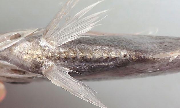 腹部正中線は各鱗が強い棘を持ち、ノコギリ状。