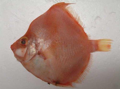 ミナミヒシダイの生物写真
