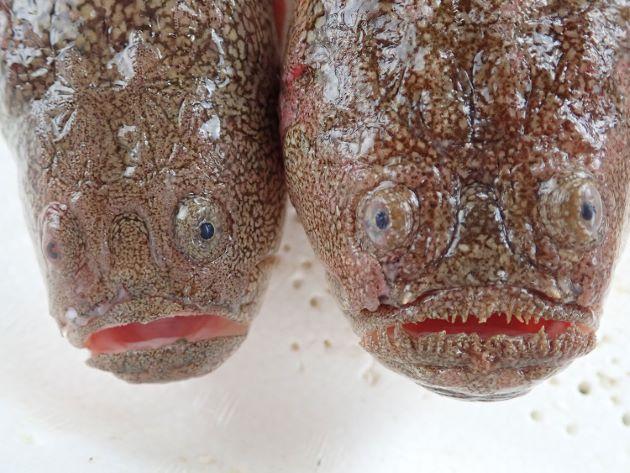 キビレミシマ(右)と比べると頭部の左右幅が狭い。