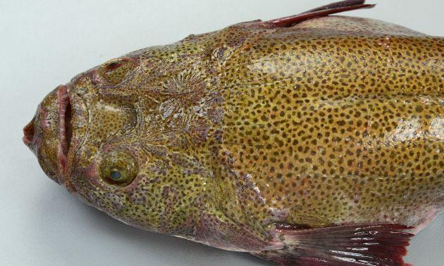 頭部拡大。体長50cm前後になる。背鰭は1基、頭部鰓蓋の上部に棘(擬鎖骨棘)がない。