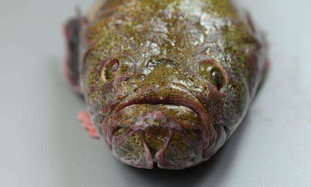 前方から。体長50cm前後になる。背鰭は1基、頭部鰓蓋の上部に棘(擬鎖骨棘)がない。