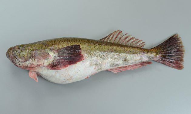 体長50cm前後になる。背鰭は1基、頭部鰓蓋の上部に棘(擬鎖骨棘)がない。