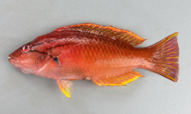 SL 20cm前後になる。赤いかオレンジ色。ササノハベラ属2種は似ているが、目の下の黒っぽい褐色の筋が胸鰭(むなびれ)方向に下に曲がり、胸鰭近くまで達する。背などに斑紋がない。