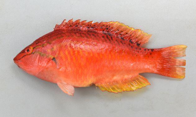 SL 20cm前後になる。赤いかオレンジ色。ササノハベラ属2種は似ているが、目の下の黒っぽい褐色の筋が胸鰭(むなびれ)方向に下に曲がり、胸鰭近くまで達する。背などに斑紋がない。[全長20m・重160g]