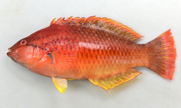 SL 20cm前後になる。赤いかオレンジ色。ササノハベラ属2種は似ているが、目の下の黒っぽい褐色の筋が胸鰭(むなびれ)方向に下に曲がり、胸鰭近くまで達する。背などに斑紋がない。[全長22cm・重206g]