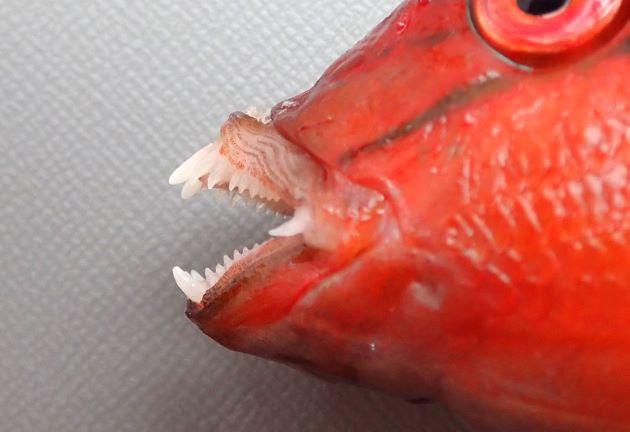 両顎の歯は犬歯状で牙状の犬歯が一対ある。