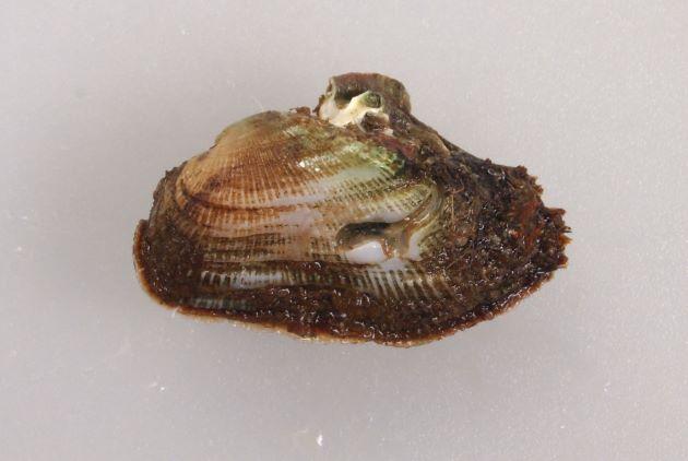アオカリガネエガイの形態写真
