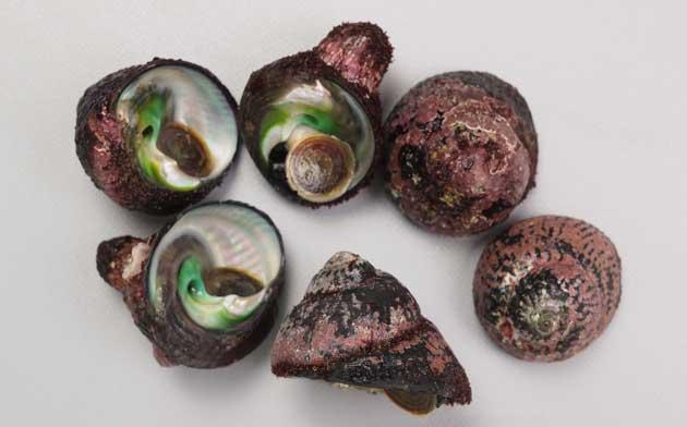 ヘソアキクボガイの形態写真