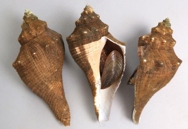 テングニシの形態写真