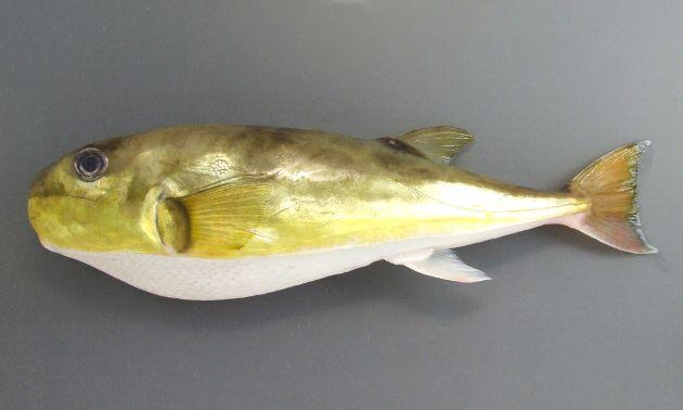 体長30cm前後になる。やや細長い紡錘形。尾鰭は湾入形、もしくは弱く丸みを持つ。尾ビレがやや黄色っぽく下半分の色合いが灰色。[黄金色の個体]
