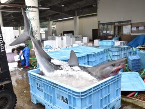 サメの食文化
