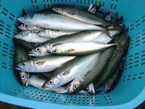 ニジョウサバ属 | 市場魚貝類図...