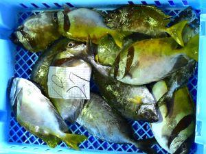 名護漁協に並ぶアイゴ類
