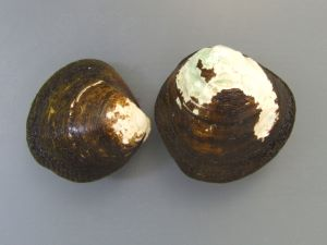 パプアニューギニアのヒルギシジミ
