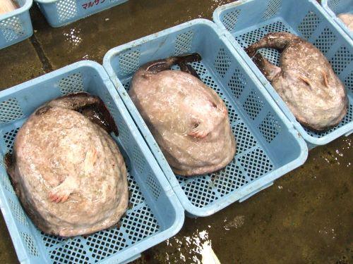 福島県原釜のキアンコウ