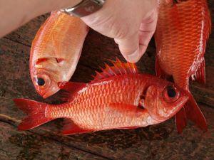 沖縄県与那城漁協で水揚げされたアカマツカサ属の魚