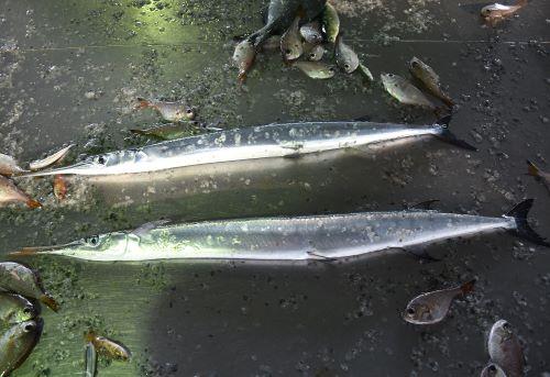 漁港で廃棄されるテンジクダツ