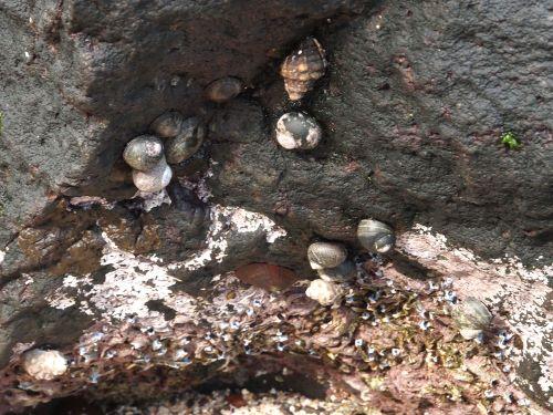 潮間帯上部に見られるクマノコガイ