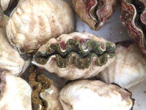 沖縄県で売られているヒメジャコ