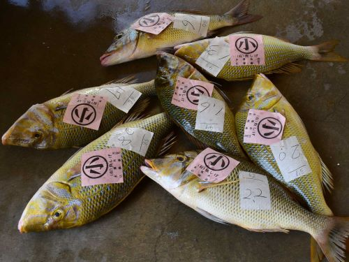 沖縄県で水揚げされたタマン