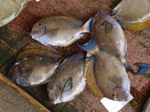 沖縄県与那城漁協に並ぶトカザー