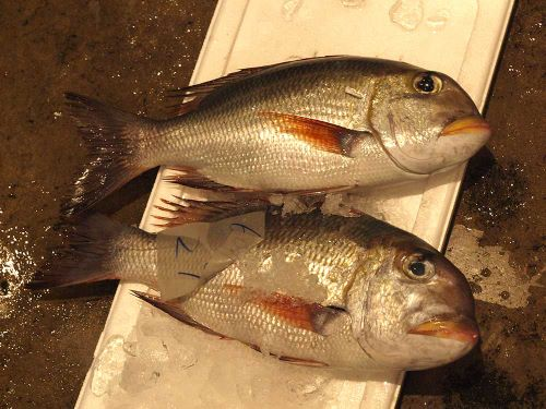 那覇市泊漁協のヨコシマクロダイ