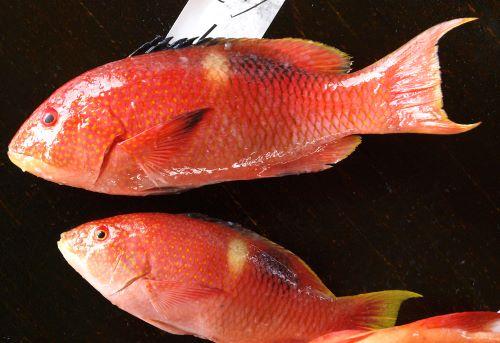 沖縄県与那城漁協に並ぶタキベラ