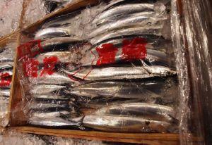 長崎県生月島で揚がったサンマ