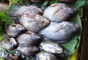熱帯域の市場に並ぶカワスズメ科